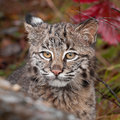 Bobcat lynx rufus stare captive animal Royalty Free Stock Images