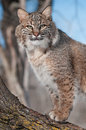 Bobcat lynx rufus stares from tree captive animal Stock Photography