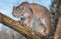 Bobcat lynx rufus stares viewer tree branch captive animal Stock Photo