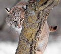 Bobcat lynx rufus sticks out tongue behind branch captive animal Royalty Free Stock Photos