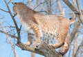 Bobcat lynx rufus in tree with back turned captive animal Royalty Free Stock Images