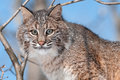 Bobcat lynx rufus tree captive animal Stock Photography