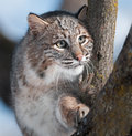 Bobcat lynx rufus in tree captive animal Royalty Free Stock Photos