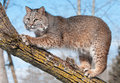 Bobcat lynx rufus tree clawing branch captive animal Stock Image