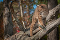 Bobcat Lynx rufus Turns Left Atop Branch Royalty Free Stock Photo
