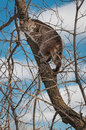 Bobcat lynx rufus up in tree captive animal Stock Image