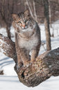 Bobcat (Lynx rufus) Walks Forward on Tree Branch Royalty Free Stock Photo