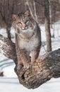 Bobcat (Lynx Rufus) Walks Forw...