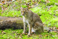 Bobcat portrait of a on green grass Royalty Free Stock Photo