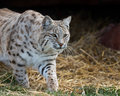 Bobcat prowling Royalty Free Stock Photo