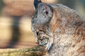 Bobcat relaxes on a warm spring afternoon female soaks up the warn sun rays beautiful day Royalty Free Stock Image