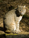 Bobcat Relaxing Stock Image