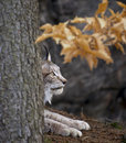 Bobcat resting behind the tree trunk Stock Image