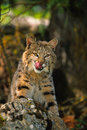 Bobcat on Rock Royalty Free Stock Image