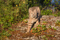Bobcat on rock Royalty Free Stock Photo