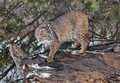 Bobcat scaling fallen log looking over his shoulder Stock Photos