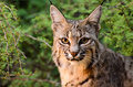Bobcat a in the shrubberies Stock Photos