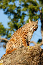 Bobcat sitting on a rock Royalty Free Stock Photo