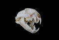Bobcat skull portrait of a Stock Image