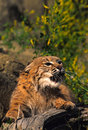 Bobcat Snarling Stock Photos