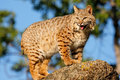 Bobcat standing on a rock Royalty Free Stock Photo