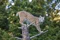Bobcat on stump Royalty Free Stock Photo