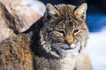 Bobcat with thick fur in a rocky environment Royalty Free Stock Photos