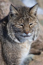 Bobcat with thick fur in a rocky environment Stock Photo