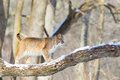 Bobcat walking across tree branch Royalty Free Stock Photo