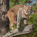Bobcat (Lynx rufus) Crouches on Branch Royalty Free Stock Photo