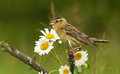 Bobolink and daisy Stock Photography