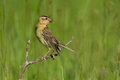 Bobolink female Royalty Free Stock Images