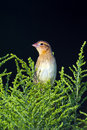 Bobolink a female sitting in some branches Stock Images