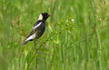 Bobolink male Stock Image