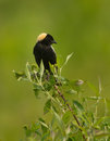Bobolink Royalty Free Stock Photo