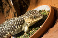 Bobtail lizard tiliqua rugosa with food in the terrarium Royalty Free Stock Photos