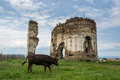 Bociulesti ruins the from romania a cow in front Stock Photography