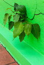 Bodhi cracks wall tree growth emerging from the of a green Royalty Free Stock Photos