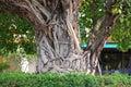 Bodhi drzewo Fotografia Stock