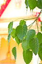 Bodhi leaf with a temple background Royalty Free Stock Photos