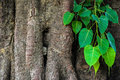 Bodhi tree leaves and trunk Royalty Free Stock Photos