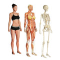 Body systems female illustration of skin muscle and skeletal isolated on a white background Stock Photos