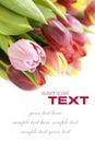 Boeket van de verse tulpen Royalty-vrije Stock Afbeeldingen