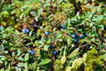 Bog bilberry Royalty Free Stock Photos