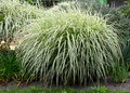 Bog bush of perennial grass Royalty Free Stock Photo