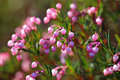 Bog rosemary plant flowering close up Royalty Free Stock Image