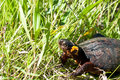 Bog Turtle Royalty Free Stock Photo