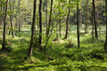 Boggy forest Royalty Free Stock Photo