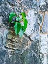 Bohdi tree Growing from the wall Stock Images