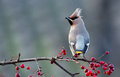 Bohemian Waxwing Royalty Free Stock Photos